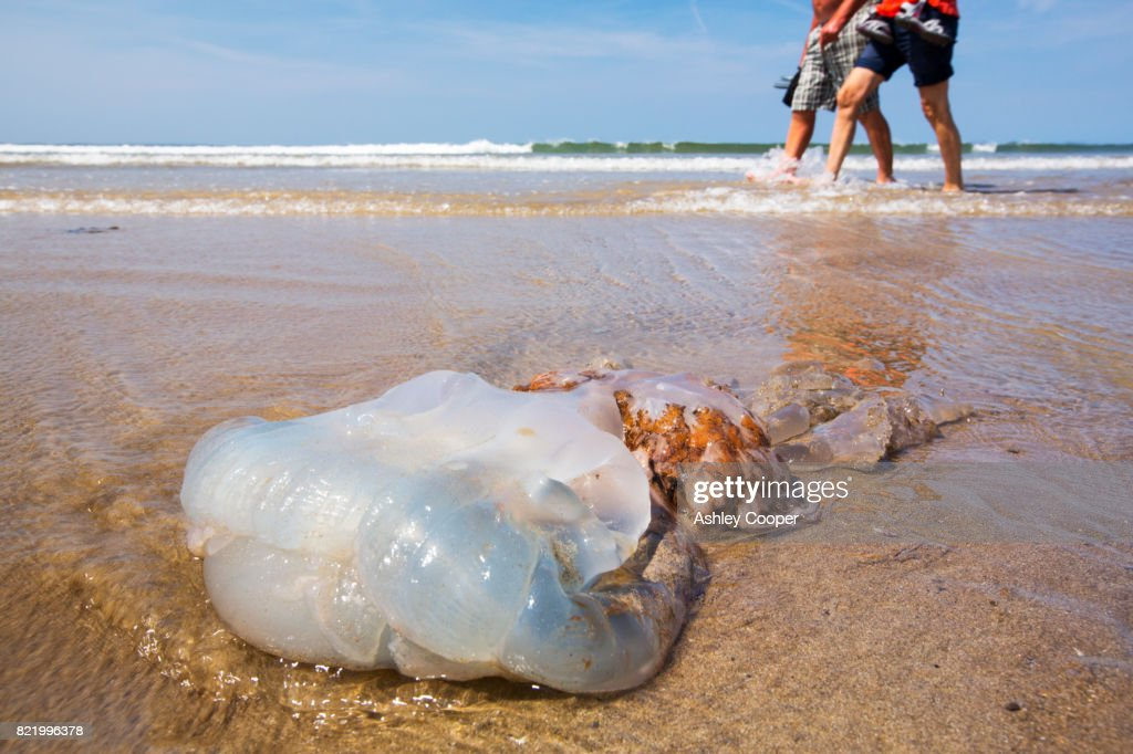 A large Jellyfish washed up on Newgale Sands in Pembrokeshire, Wales, UK. : Stock Photo