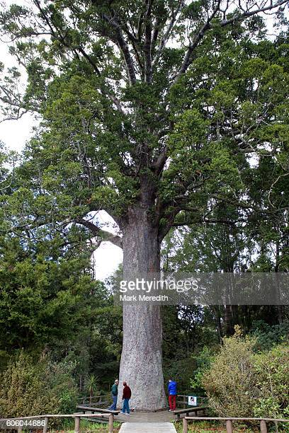 Large kauri tree at Parry Kauri Park near Warkworth