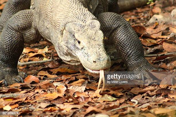 large komodo dragon approaches visitors - rinca island stock pictures, royalty-free photos & images