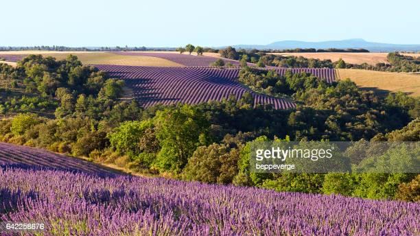 large lavender field