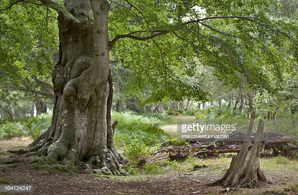 large leafy tree in the woods - new forest, england - marcoventuriniautieri stock pictures, royalty-free photos & images
