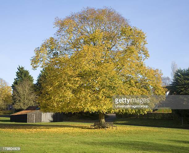 Large lime tree in autumn leaf on the village green in Westleton Suffolk England