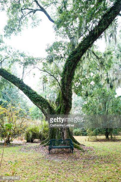 large live oak tree covered with spanish moss and ivy.  lone bench at foot of tree. - live oak tree stock pictures, royalty-free photos & images