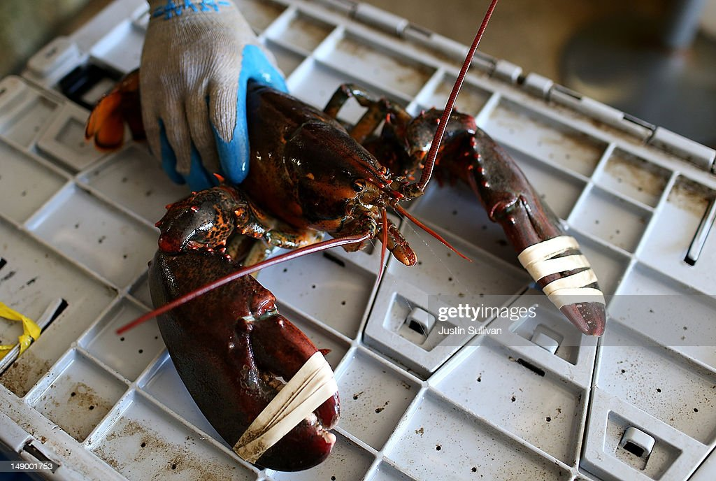 A large lobster is seen at Three Sons Lobster and Fish on July 21, 2012 in Portland, Maine. A mild winter and warmer than usual spring caused lobsters to shed their shells six weeks earlier than usual which resulted in an overabundance of lobsters in the Northeastern United States that has driven down prices to record lows. Lobstermen hope to make at least $4.00 a pound to turn a profit but prices this year have been as low as $1.25 a pound.