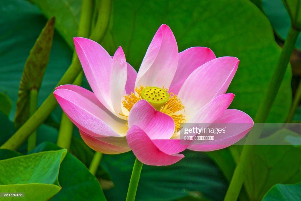 Large lotus flowers bright pink buds of lotus flower floating in the large lotus flowers bright pink buds of lotus flower floating in the lake mightylinksfo