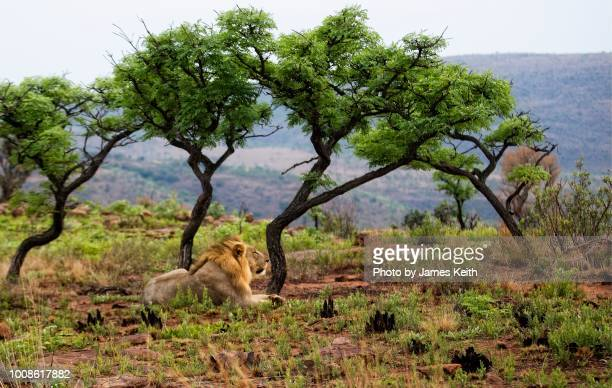 a large male african lion looks over his domain from atop a ridge in the waterberg region of south africa. - limpopo province stock pictures, royalty-free photos & images