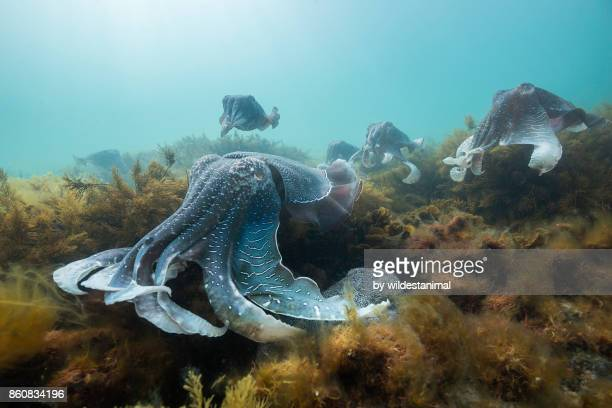Large male Australian giant cuttlefish protecting his female from other males as she tries to lay her eggs,Whyalla, South Australia.