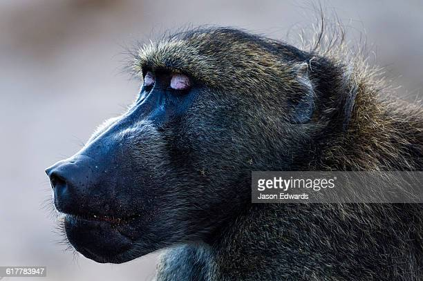 A large male Chacma Baboon displaying its eyelids in aggression a sign of dominance.