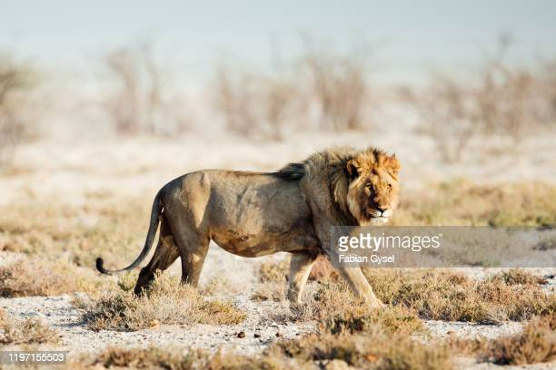 large male lion - wildlife reserve stock pictures, royalty-free photos & images