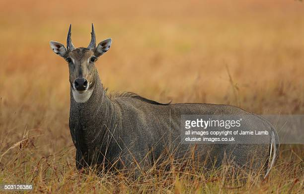 large male nilgai (bluebull) in india - nilgai stock photos and pictures