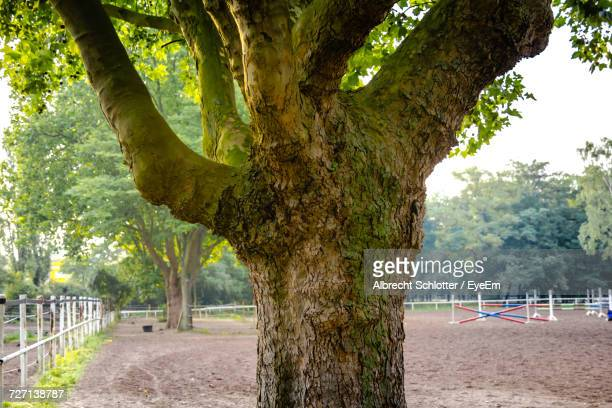 large maple tree growing at park - albrecht schlotter stock pictures, royalty-free photos & images