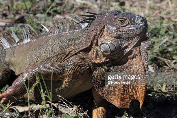 A large mature male green iguana roams free in Virginia Key on December 12 in Miami
