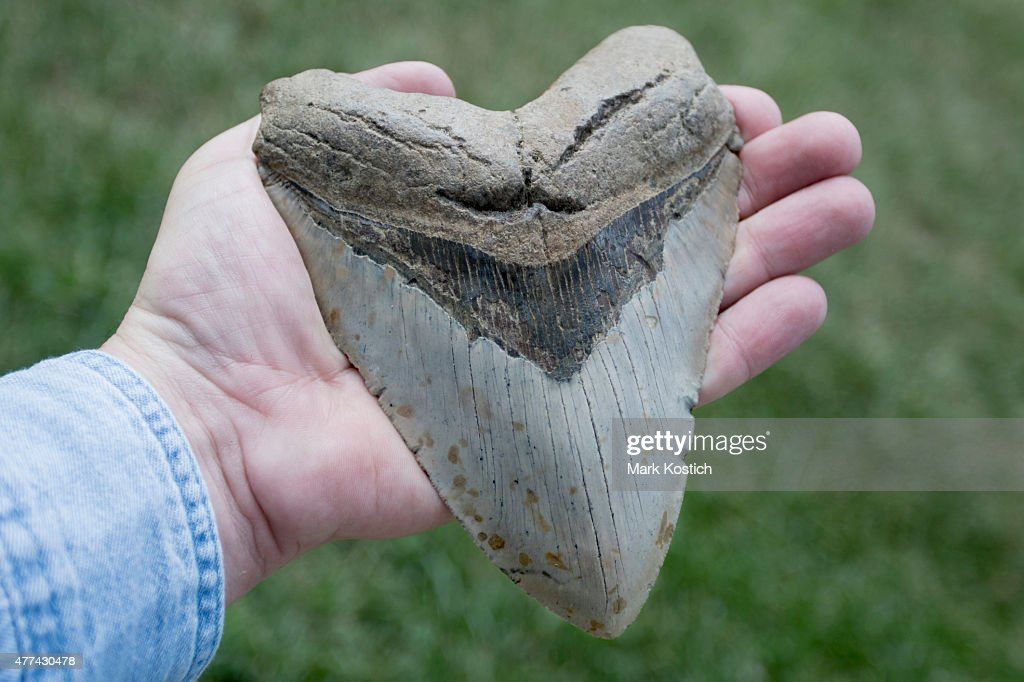 Large Megalodon Shark Tooth in Adult Hand : Stock Photo