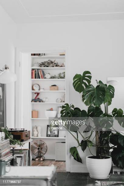 large monstera plant in living room - houseplant stock pictures, royalty-free photos & images