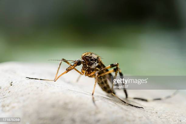 large mosquito - mosquito stock photos and pictures