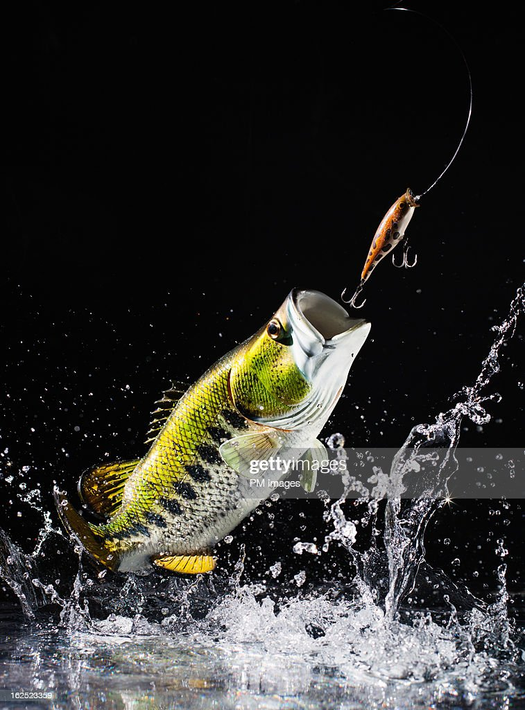 Large mouth bass leap out of water : Stock Photo