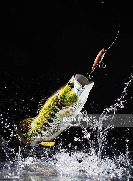Large mouth bass leap out of water