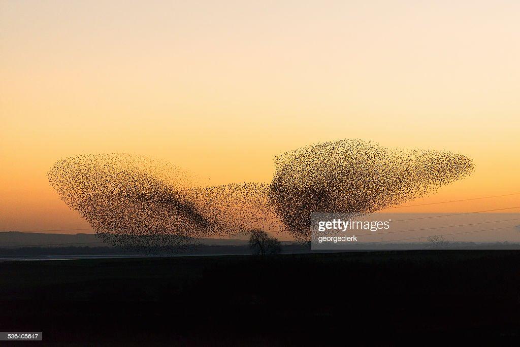 Große murmuration von starlings in der Dämmerung : Stock-Foto