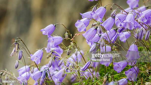 A large number of Campanula of the Mountains