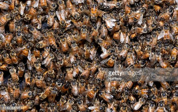 Large number of Honeybee working at a hive in a bee farm in Barpeta, India on 08 December 2020.