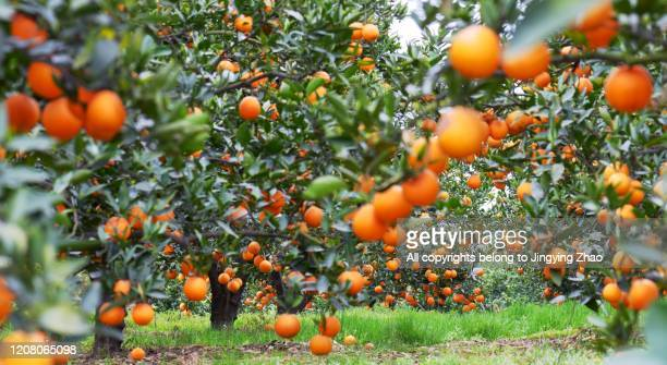 a large number of oranges hanging on trees in an orchard - citrus grove - fotografias e filmes do acervo