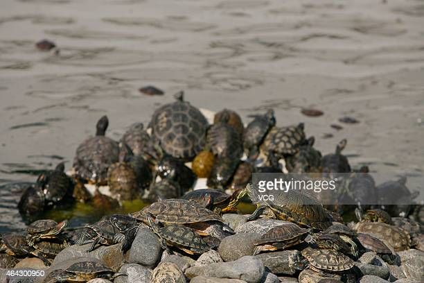 A large number of tortoises are seen at a pond at Guiyuan Temple on October 16 2011 in Wuhan Hubei Province of China All the tortoises were released...