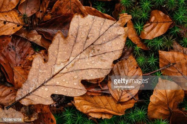 large oak leaf on wet forest floor - oak leaf stock pictures, royalty-free photos & images
