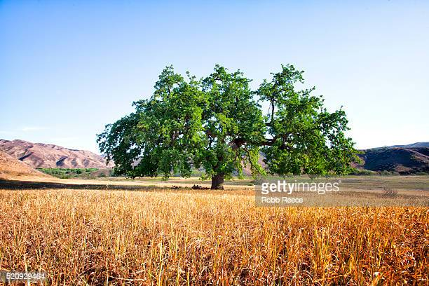 a large oak tree in a rural, grassy field - robb reece stock pictures, royalty-free photos & images