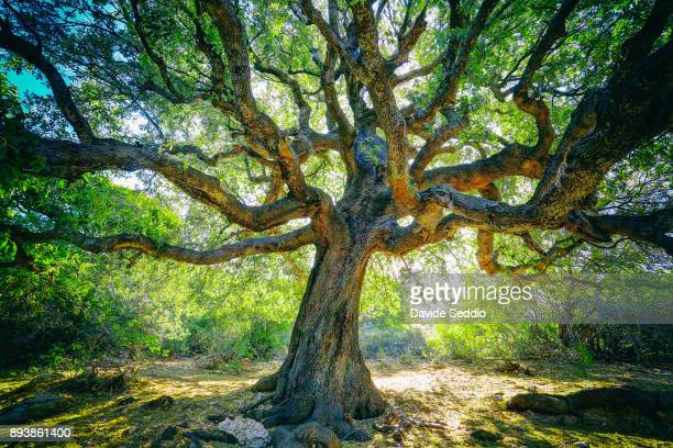 large oak tree with twisted branches on the path to the cove 'cala goloritze' - oak tree stock pictures, royalty-free photos & images