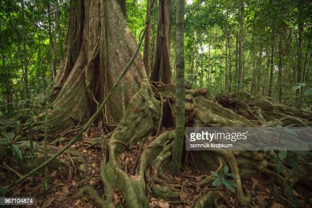 large old banyan tree in forest - banyan tree stock photos and pictures