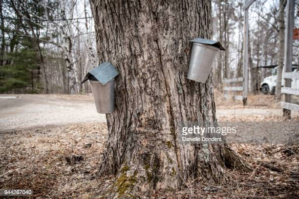Large old maple tree with two buckets to collect sap to make maple syrup