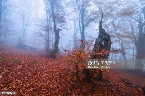 A large old stump in the autumn forest. Red and yellow leaves. Landscape with a fog. Mysterious concept.