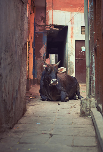 A large ox blocks the entrance of a narrow lane of Varanasi, Uttar Pradesh . It is a very common place picture in Varanasi, where cows freely roam in the streets. 1084772280