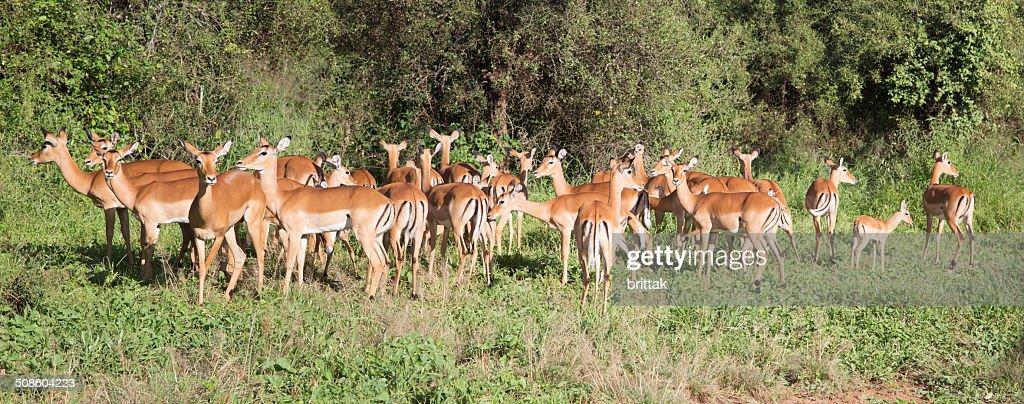 Amplio panorama con hembra impala. : Foto de stock