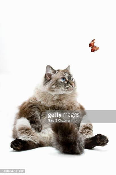 Large Persian cat sitting, looking at butterfly