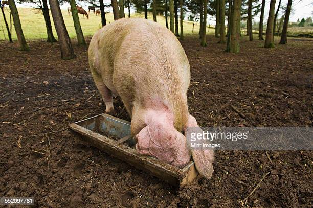 a large pig feeding at a trough in a field. - pigs trough stock pictures, royalty-free photos & images