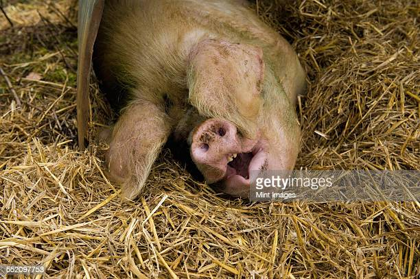 A large pig lying down under a pig ark shelter, in deep straw bedding.