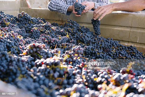 Large pile of freshly harvested grapes