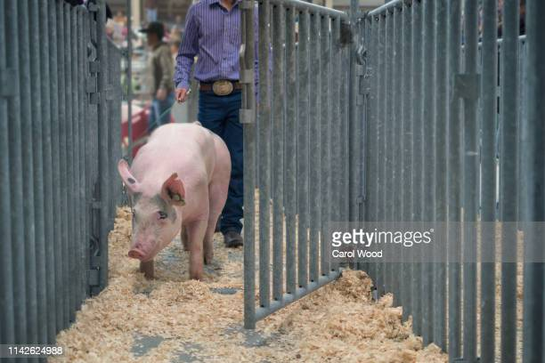 a large pink pig enters the chute at a county livestock exhibition - livestock show stock pictures, royalty-free photos & images
