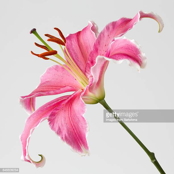 large pink stargazer lily - stamen stock pictures, royalty-free photos & images