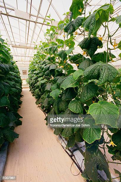 Large plants in hydroponic farm