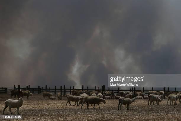A large plume of bushfire smoke is seen over a sheep property in the Parndana region on January 09 2020 on Kangaroo Island Australia Residents of the...