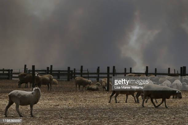 A large plume of bushfire smoke is seen over a sheep property in the Parndana region on January 09 2020 on Kangaroo Island Australia Residents of the...