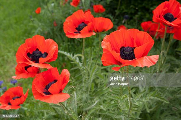 Large Poppies, Dorset, England.