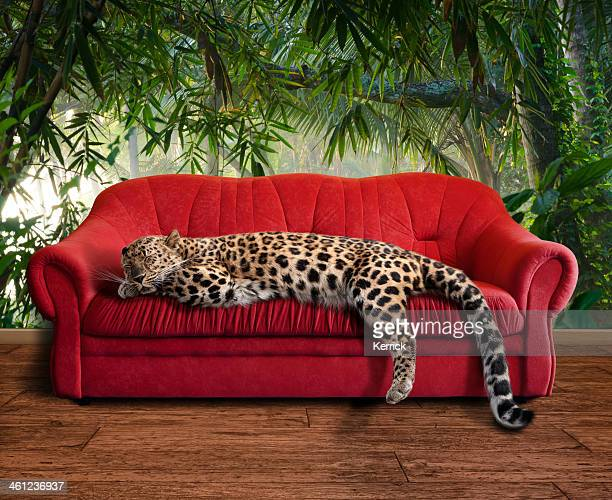 large pussy cat - leopard sleeping - leopard stock pictures, royalty-free photos & images