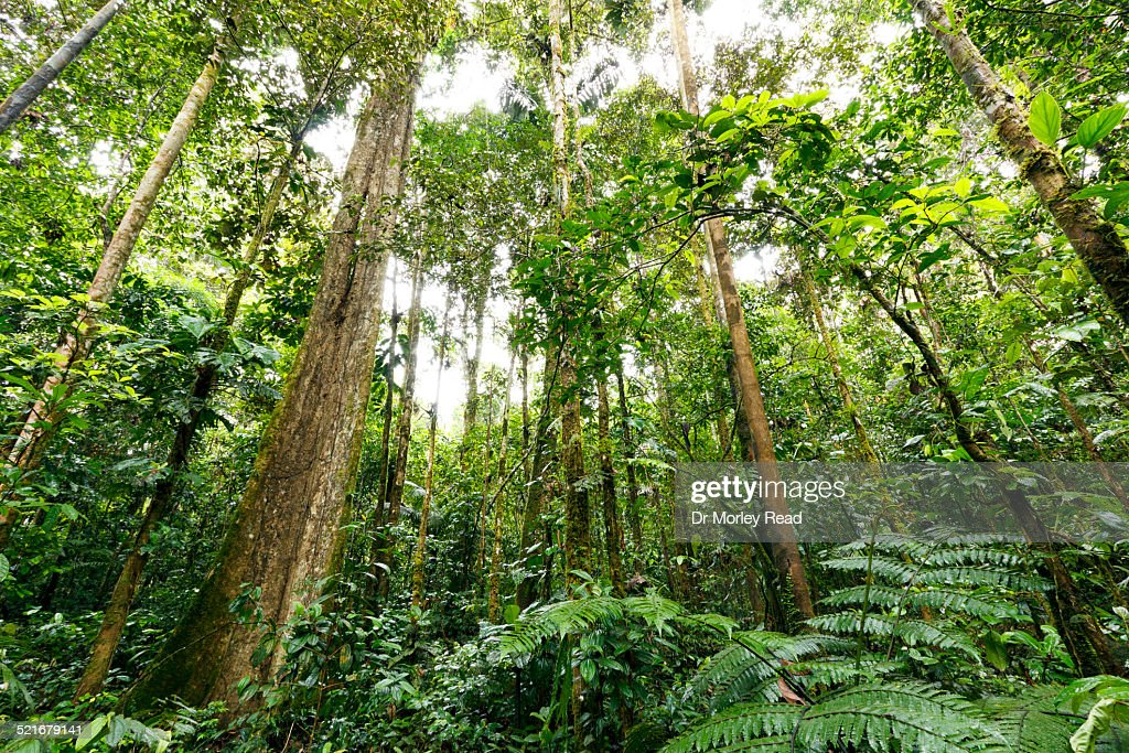 Large rainforest trees reaching for the canopy  Stock Photo & Large Rainforest Trees Reaching For The Canopy Stock Photo | Getty ...
