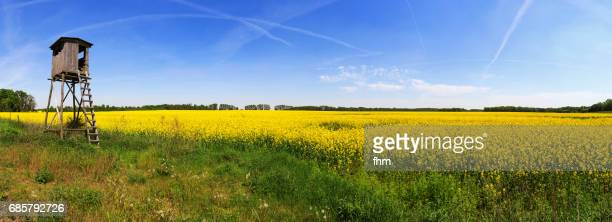 Large rapeseed field with a wooden tower for the hunter to watch and shoot deers and wild pigs