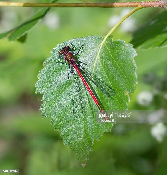 Large red damselfly (Pyrrhosoma nymphula)