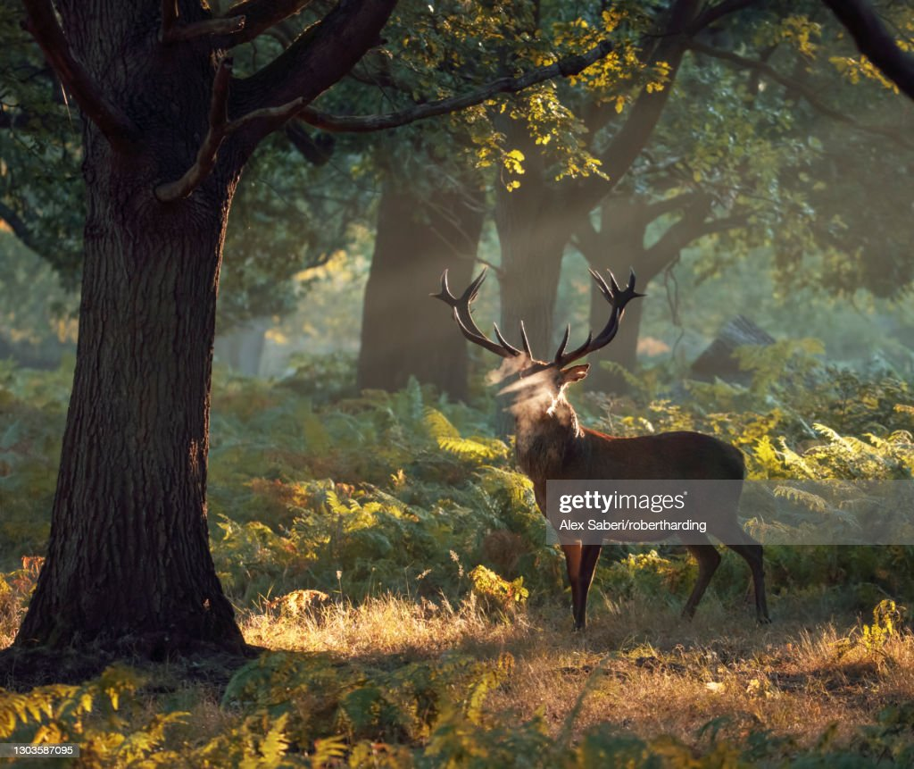 A large red deer stag (Cervus elaphus) stands his ground in a misty Richmond Park one autumn morning, Richmond, Greater London, England, United Kingdom, Europe : Stock Photo