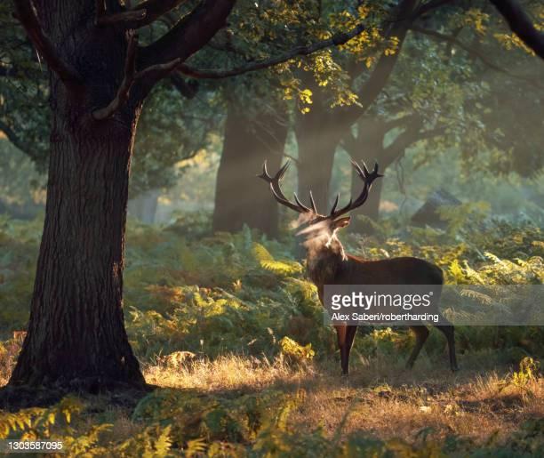 a large red deer stag (cervus elaphus) stands his ground in a misty richmond park one autumn morning, richmond, greater london, england, united kingdom, europe - alex saberi fotografías e imágenes de stock
